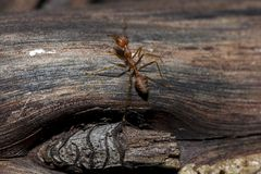 Red ants are on the tree. stock image