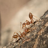 Red ants. Royalty Free Stock Images