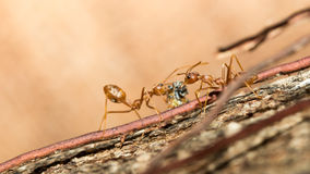 Red ants. Stock Photography