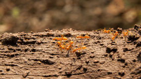 Red ants on the tree Stock Image