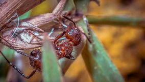 Red Ants Tropical Fire Ants stock image