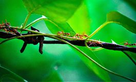 Red ant and green สeaves royalty free stock photography