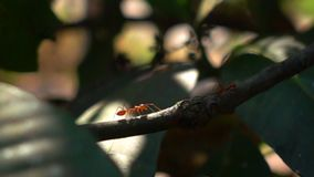 Red ants walking on a branch of mango tree stock video footage