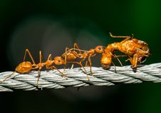 Red ants walking and carry bug body. With deep green background stock image