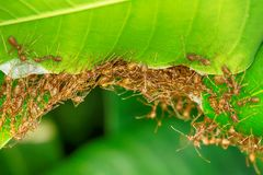 Many ants walking. The red ants walking in and out of the nest on the mango leaves stock image