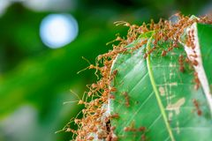 Many ants walking. The red ants walking in and out of the nest on the mango leaves royalty free stock photos