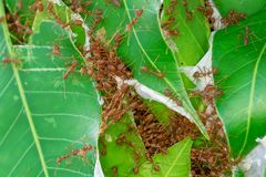 Many ants walking. The red ants walking in and out of the nest on the mango leaves royalty free stock photo