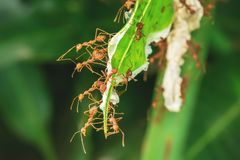 Many ants walking. The red ants walking in and out of the nest on the mango leaves stock images