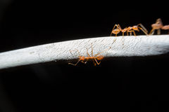 Red ants walking on wired. Royalty Free Stock Photography
