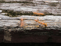 Red Ants Walking on a Wooden Bridge Royalty Free Stock Photos