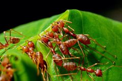 Red ants. Weaver ants are working together royalty free stock photo