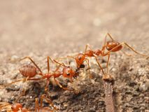 Red ants. Are working helping each other stock photography
