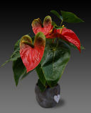 Red anturium. Also known as flamingo flower Stock Photo