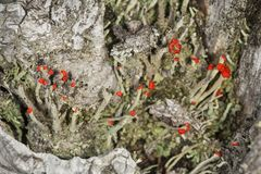 Red fruiting bodies of lichens on Mt. Sunapee, New Hampshire. royalty free stock photos