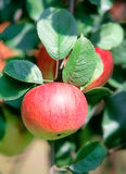 Red apple. On a branch Stock Photos
