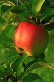 Red apple. Vitamin diet food royalty free stock photography