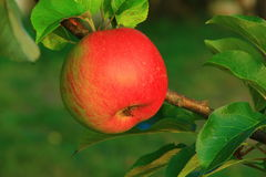 Red apple. Vitamin diet food stock photography