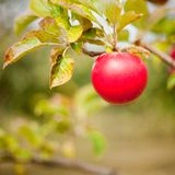 Red apple. One beautiful and delicious red apple on a branch, shallow depth of field Stock Images