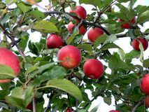 Red apple. S on apple tree Stock Photography
