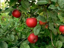 Red apple. S on apple tree Stock Photos
