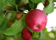 Red apple. Branch with big red apple Stock Image