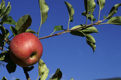 Red Apple. A red apple in the tree with blue sky behind: copy-space Stock Image