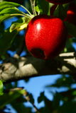 Red Apple. A single red apple hangs from a tree branch with the blue sky beyond royalty free stock photos