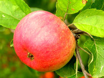 Red apple. Ready to harvest Stock Photography