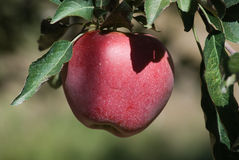 Red apple. Ripe red apple on the tree Royalty Free Stock Image