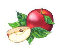Red apple. A full red apple and a sliced one. Hand drawn illustration. This is my work Stock Photography