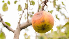 Red apple on apple tree branch CINEMAGRAPH. Tasty ripe juicy red apple on the branch CINEMAGRAPH, live photos, looped, loopable, motion photo stock footage