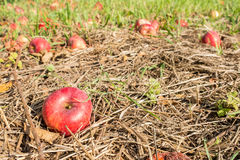 Red apple as windfall Stock Image