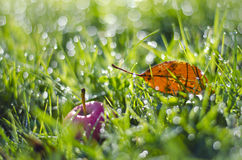Red apple and autumn leaf in green dewy grass Royalty Free Stock Images