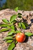 Red apple on big stone Stock Image
