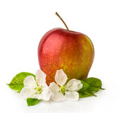 Red apple with blossom Stock Images