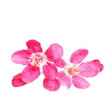 Red apple blossom , isolated on white Royalty Free Stock Image