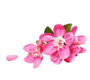 Red apple blossom, isolated on white. Background, with clipping path Royalty Free Stock Images