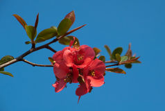 Red apple blossom Royalty Free Stock Images