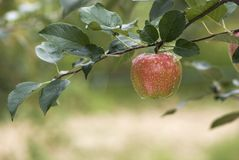 Red apple on a branch Stock Image