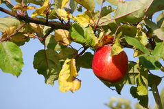 Red apple on branch Stock Photos
