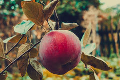 Red Apple on a Branch Stock Images