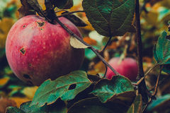 Red Apple on a Branch Stock Photos