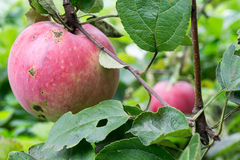 Red Apple on a Branch Royalty Free Stock Photography
