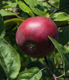 Red apple on a branch in the garden. Red apple on a branch of an apple tree in the garden Stock Photo