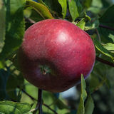 Red apple on a branch in the garden. Red apple on a branch of an apple tree in the garden Stock Photos