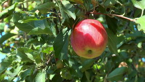 Red apple on a branch. Among leaves stock footage