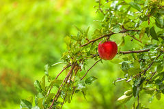 Red apple on branch in orchard Stock Photo