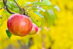 Red apple on the branch. Healthy food and ripe crop harvest time in autumn stock image