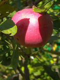 Red apple on branch Stock Image