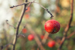 Red apple on the branch Royalty Free Stock Photo